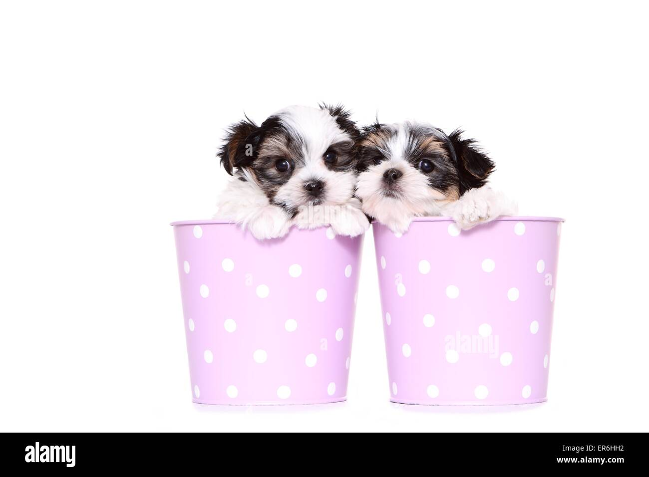 Biewer-Maltese-Mongrel Puppies - Stock Image