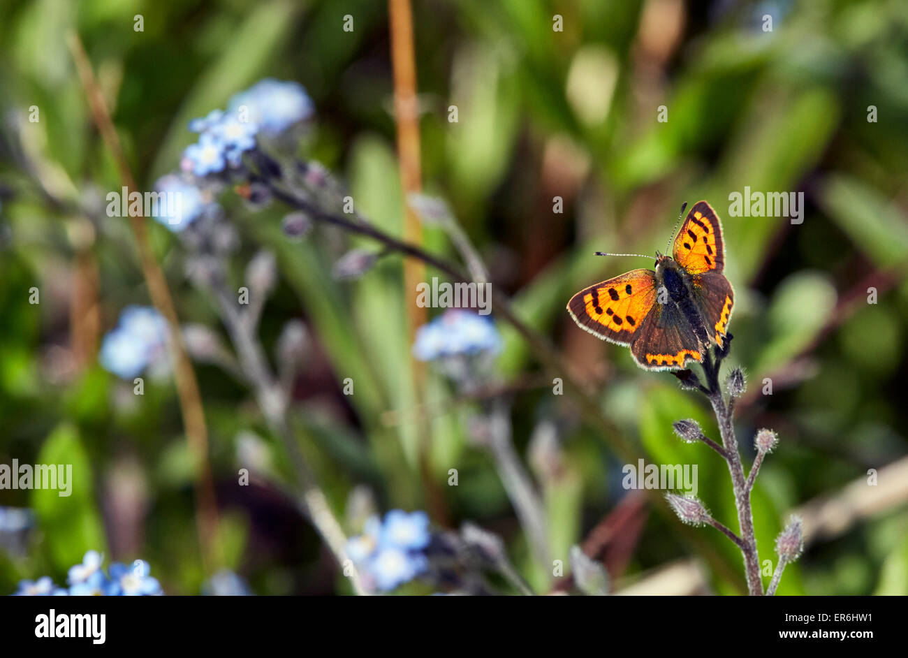 Small Copper on Forget-Me-Not flowers.  Fairmile Common, Esher, Surrey, England. Stock Photo