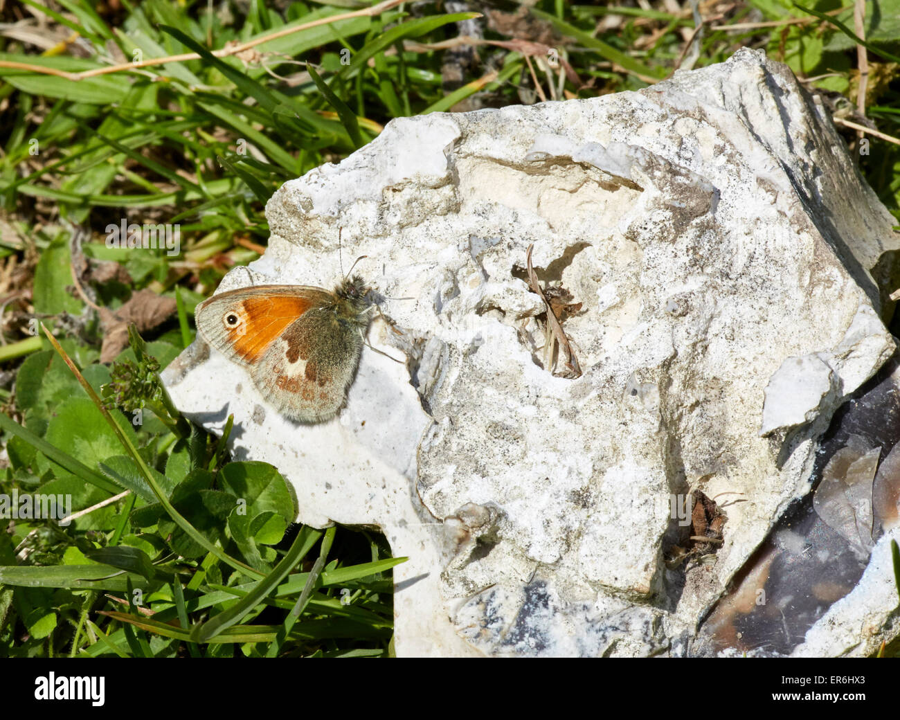 Small Heath sunning itself on a piece of chalk. Hutchinson's Bank Nature Reserve, New Addington, Surrey, England. - Stock Image