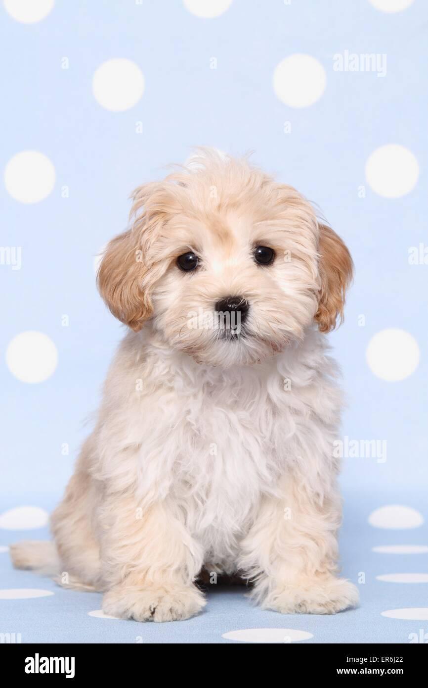 Maltipoo Puppy Stock Photo 83124442 Alamy