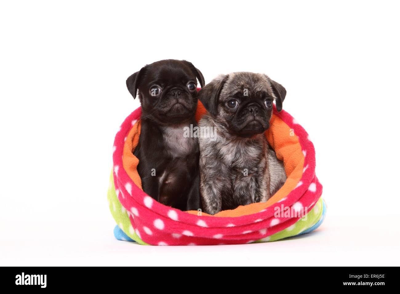 2 pug puppies - Stock Image