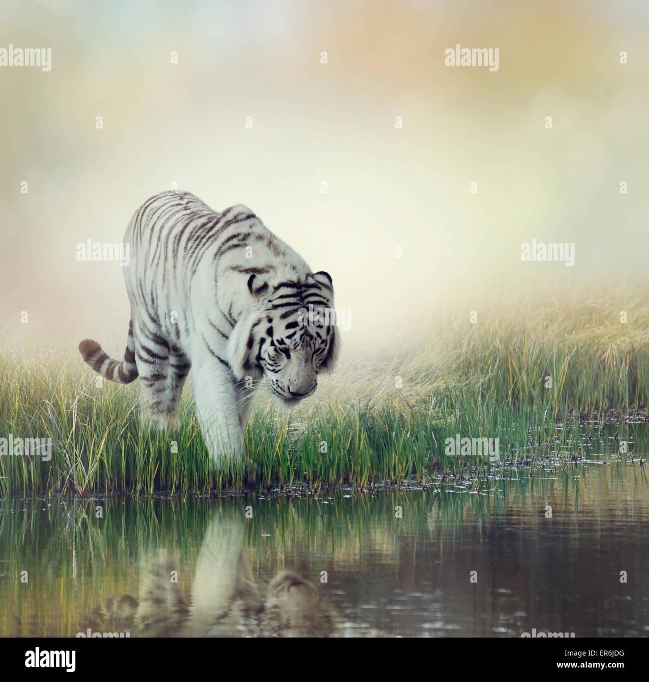 White Tiger Near A Pond - Stock Image