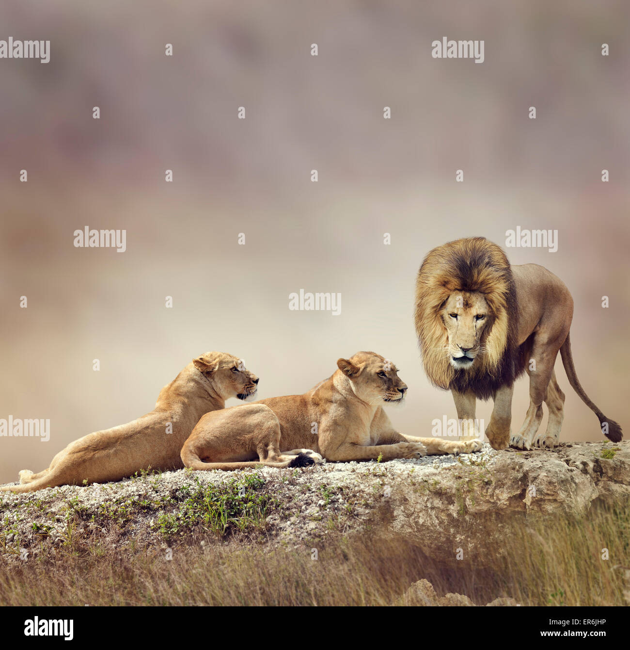 Family of Lions On A Rock - Stock Image