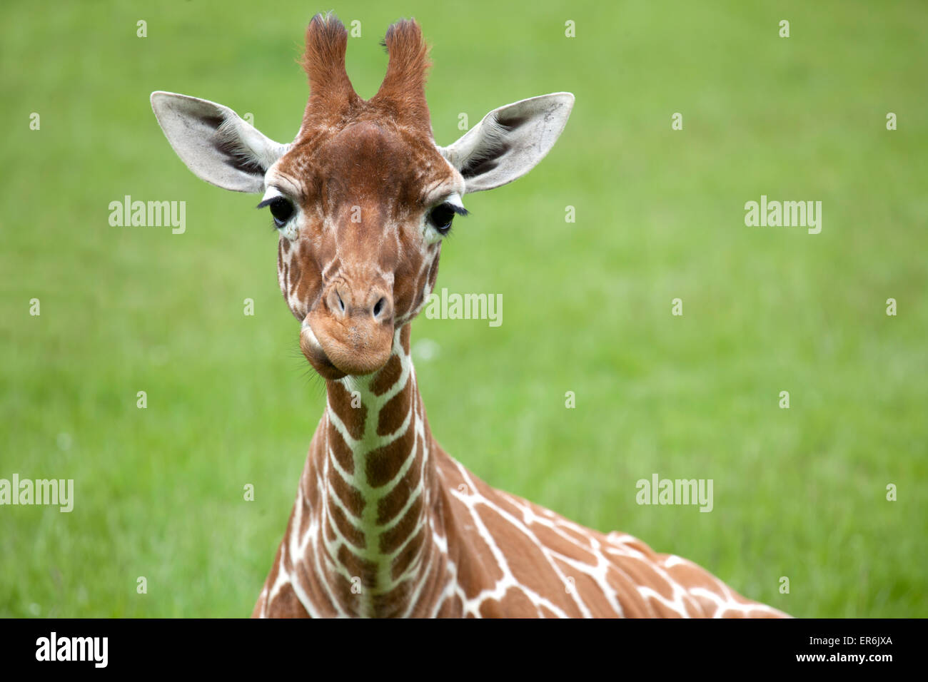 Reticulated Giraffe head with space on right for text Stock Photo