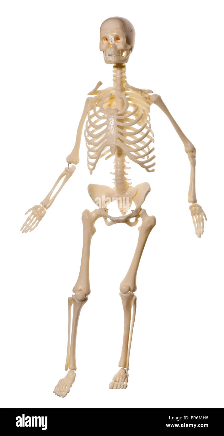 Human Skeleton toy, for children to learn about the skeleton and internal organs. - Stock Image