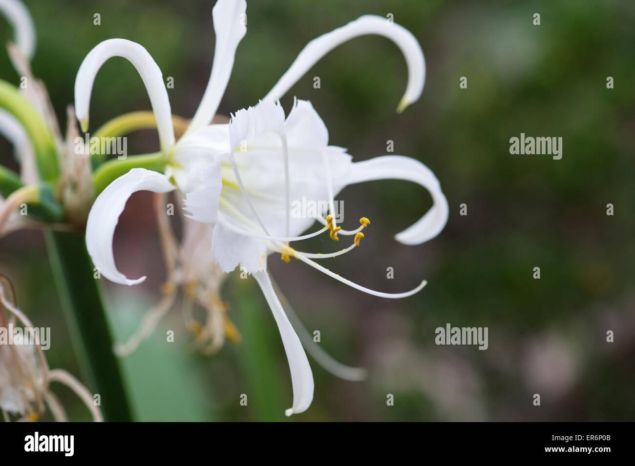 Hymenocallis narcissiflora. Peruvian daffodil. Basket flower. Lily Basket Stock Photo