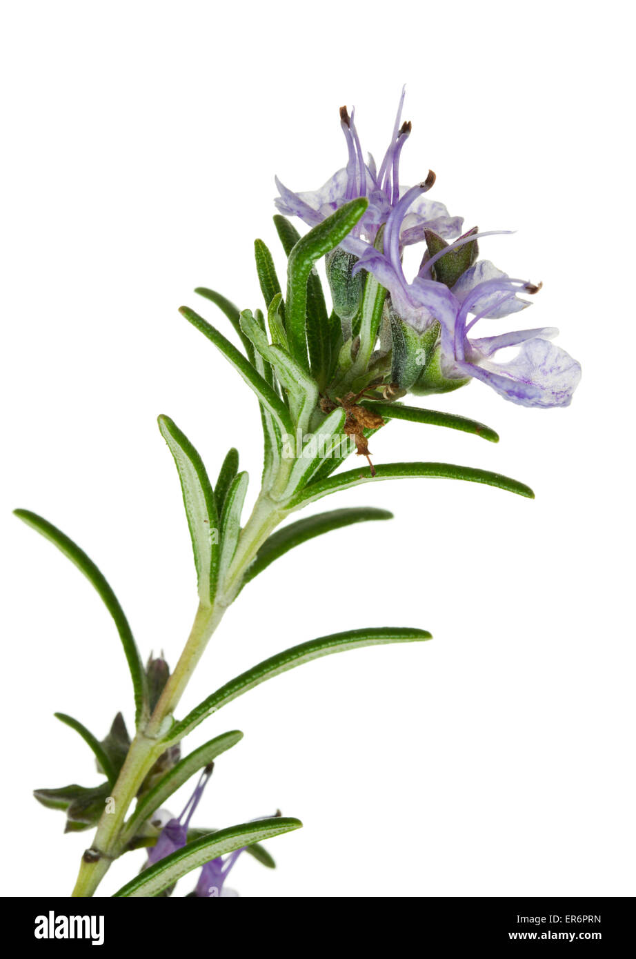 closeup of flowering rosemary twig isolated on white background - Stock Image