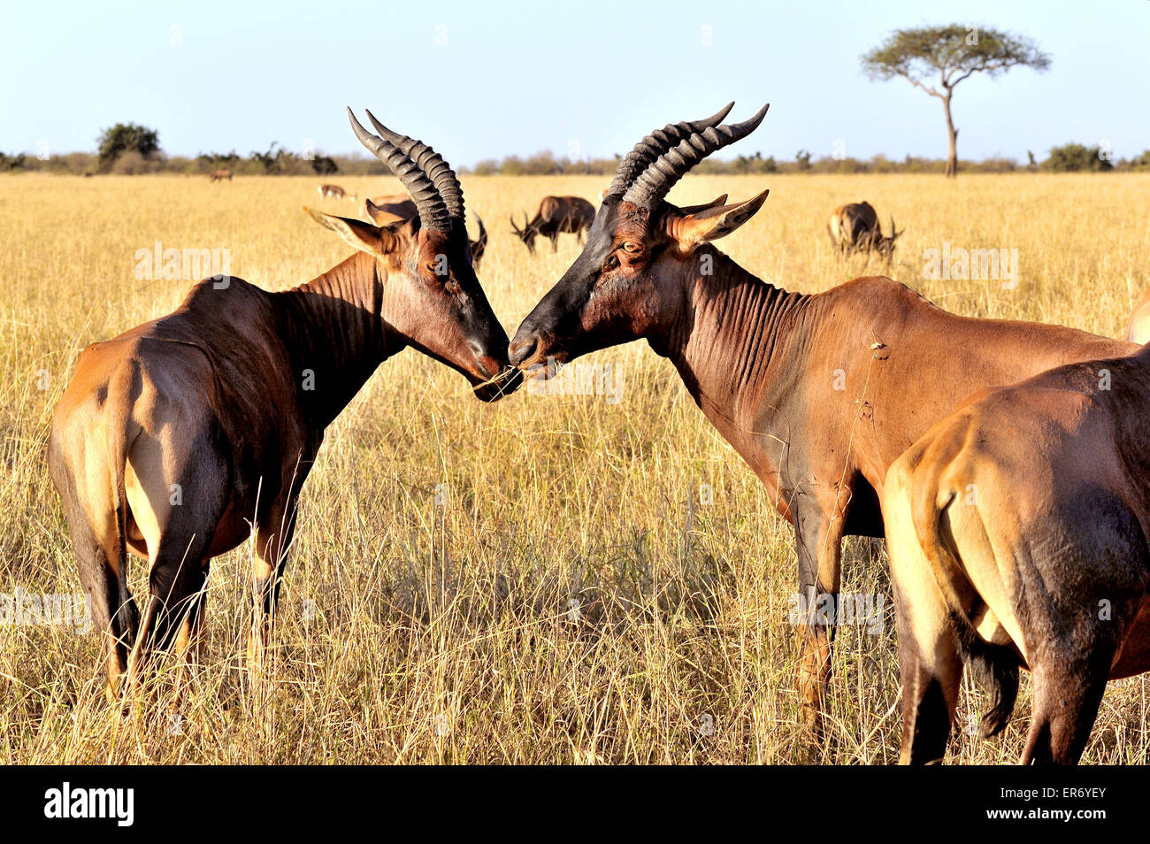 Topi Antelope seem to talk with each other - Stock Image