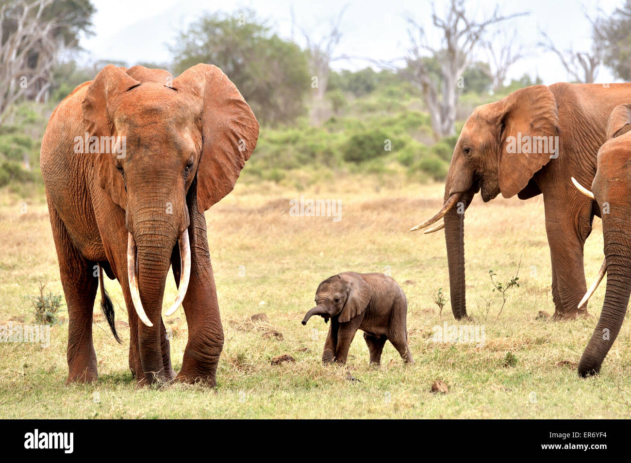 Very Young Elephant Baby playing around with its Family - Stock Image
