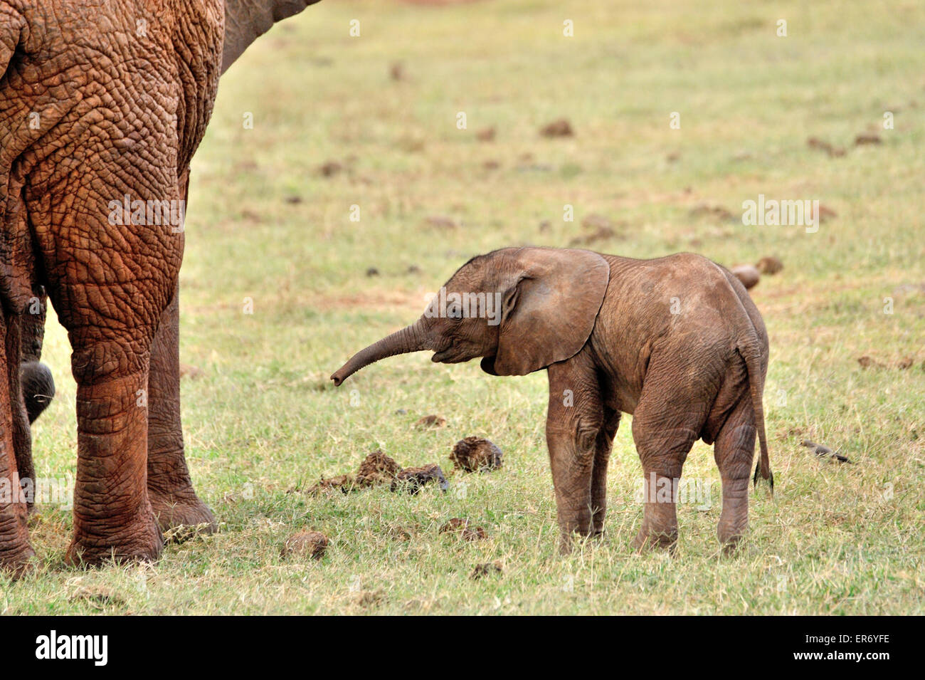 Young playful Elephant Baby - Stock Image
