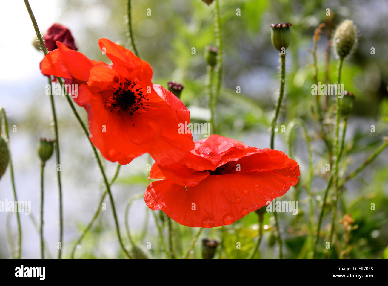 Red Poppy Flower After Rain Stock Photos Red Poppy Flower After