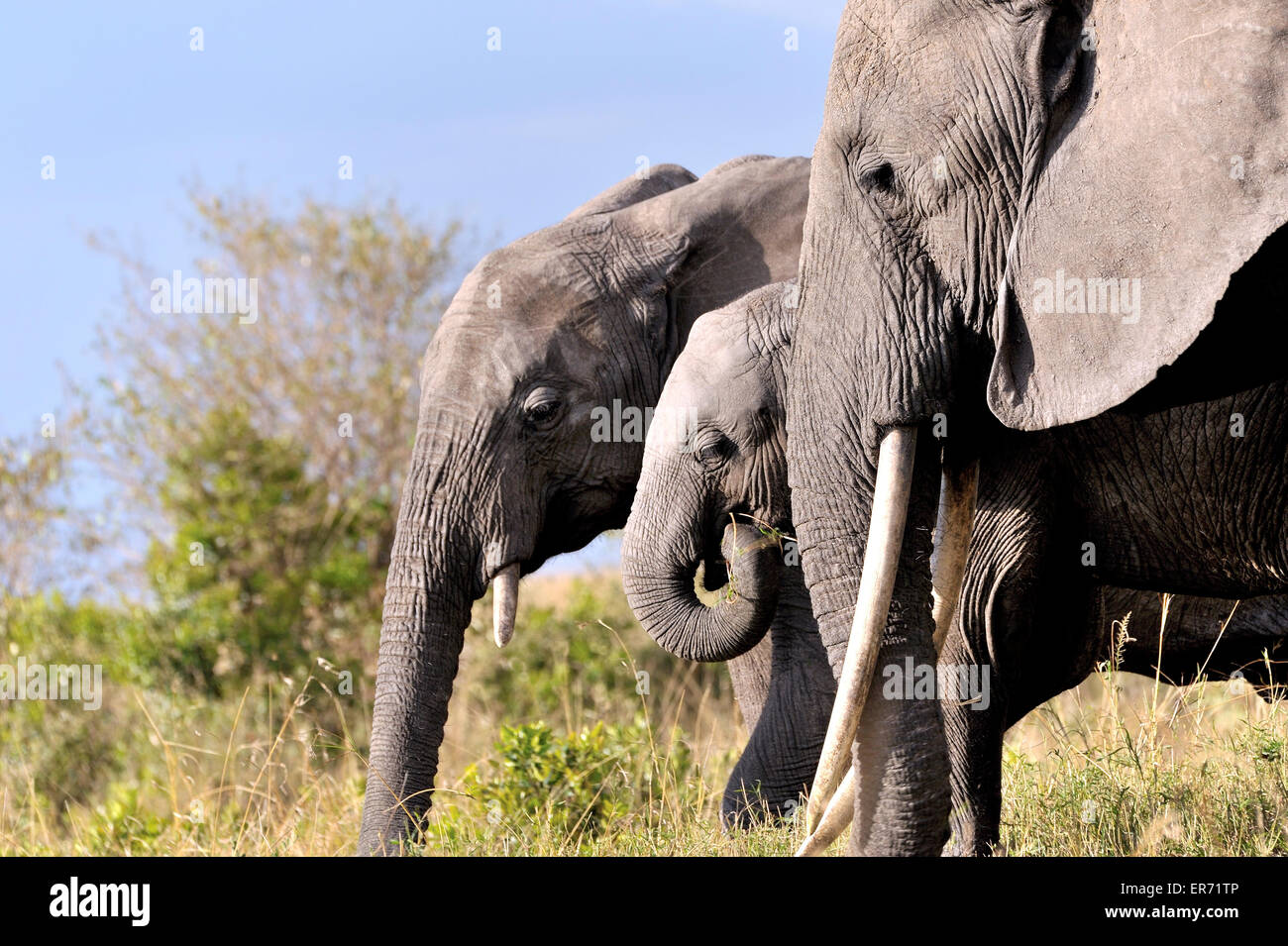Young elephant and its parents in Masai Mara, group of elephants - Stock Image