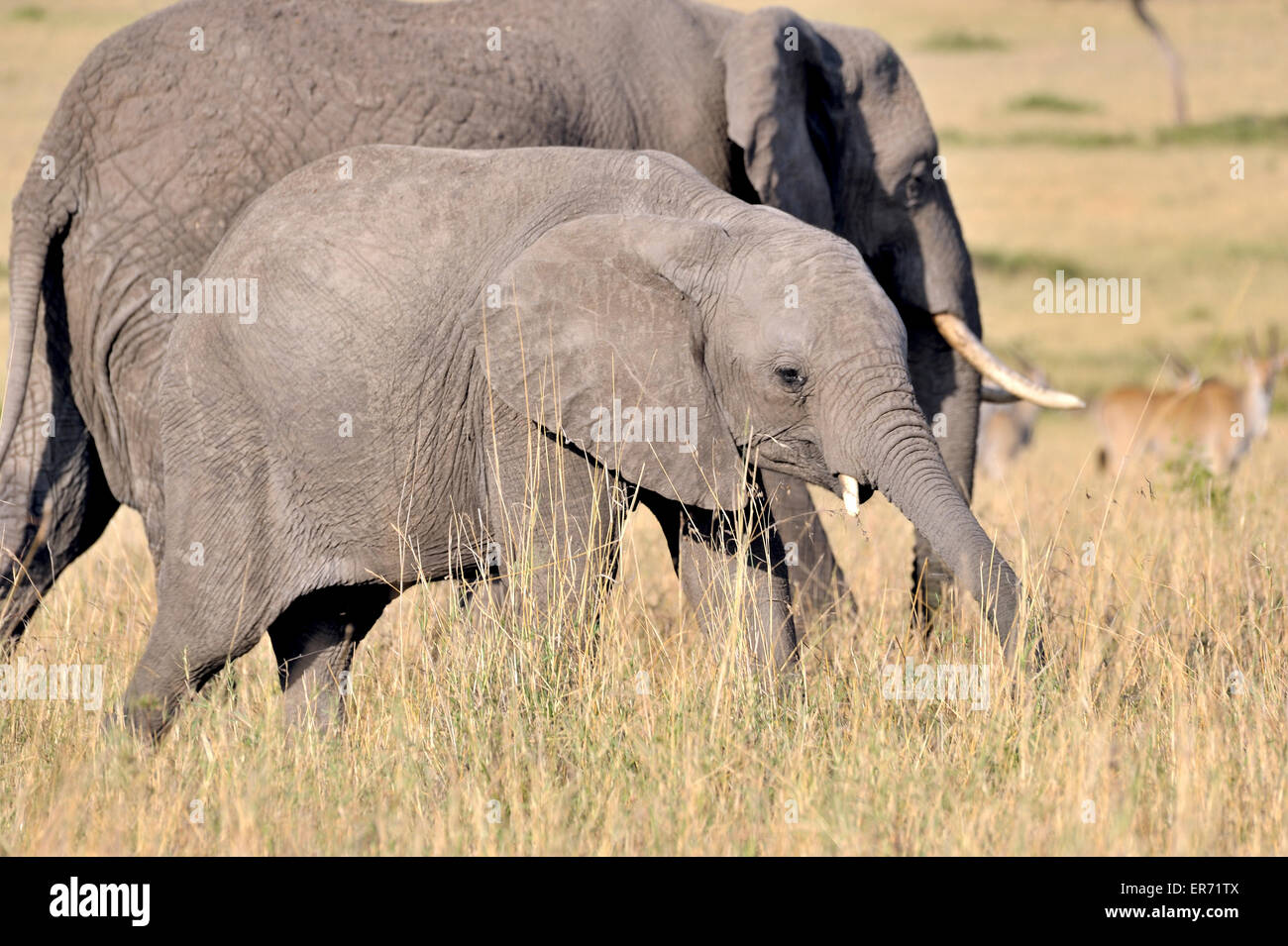 Young elephant and its mother in the Masai Mara - Stock Image