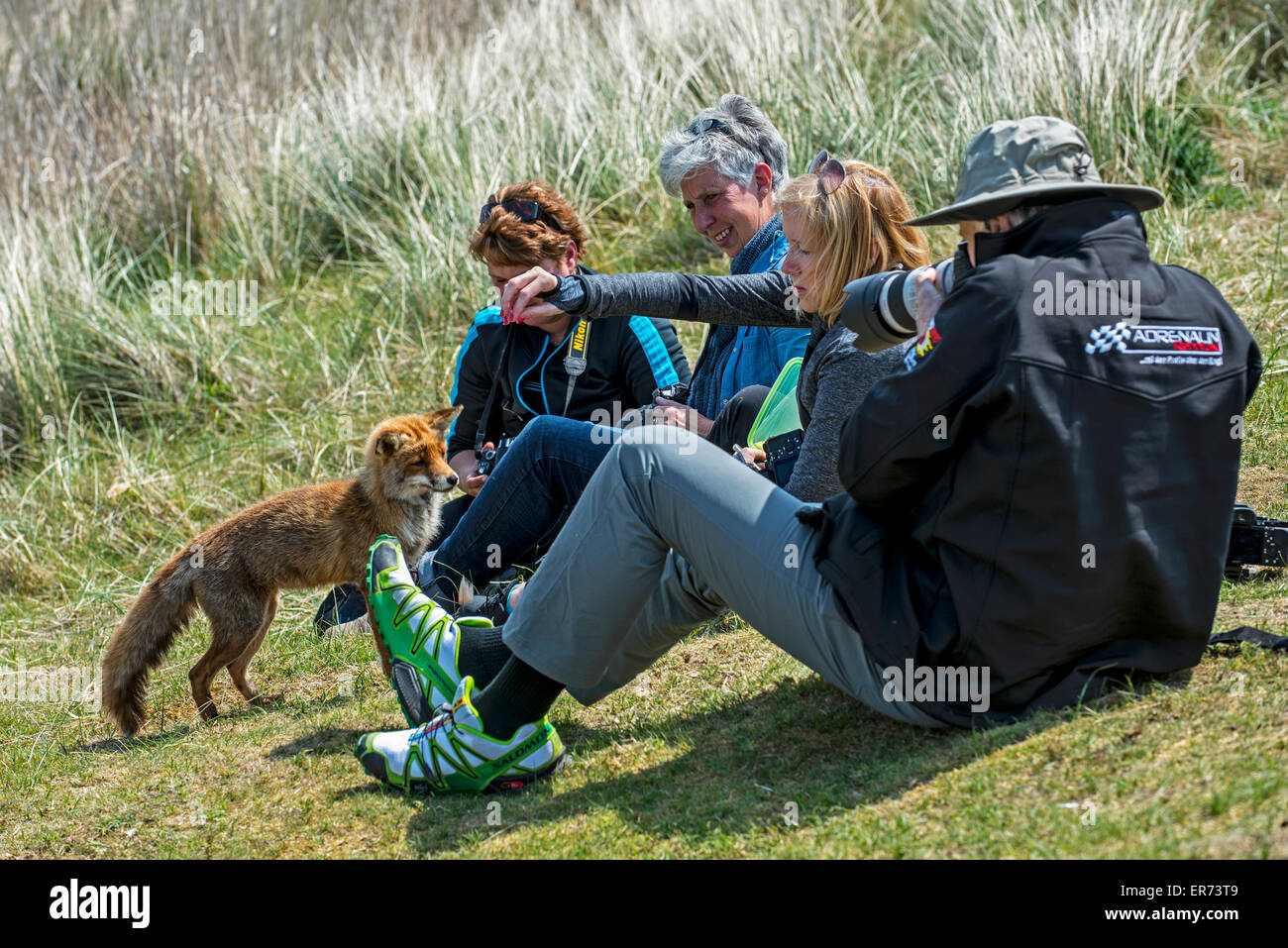 Tame red fox (Vulpes vulpes) being fed by irresponsible tourists in nature reserve - Stock Image
