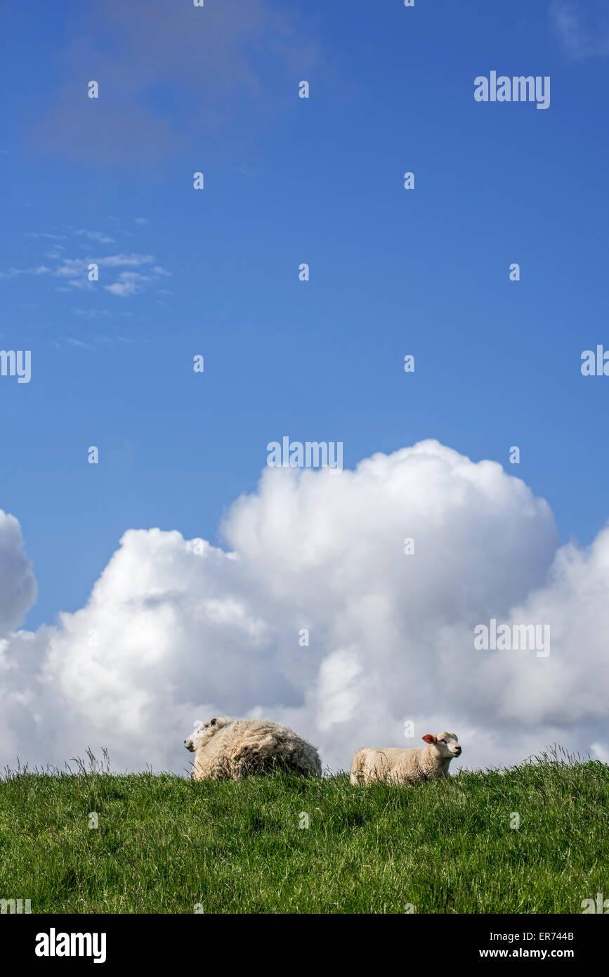 Texel sheep / Texelaar ewe with lamb lying in meadow on the island of Texel, Frisian Islands, North Holland, the - Stock Image