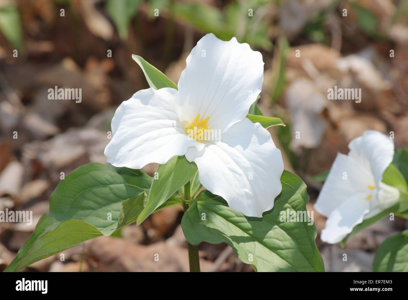 Ontario flower stock photos ontario flower stock images alamy pretty white trilliums grandiflorum near the edge of a tree filled forest in se ontario izmirmasajfo