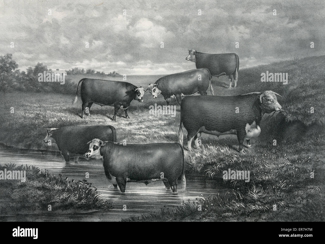 Sir Bartle group of yearling grade hereford steers and their sire. Date c1886 May 1. - Stock Image