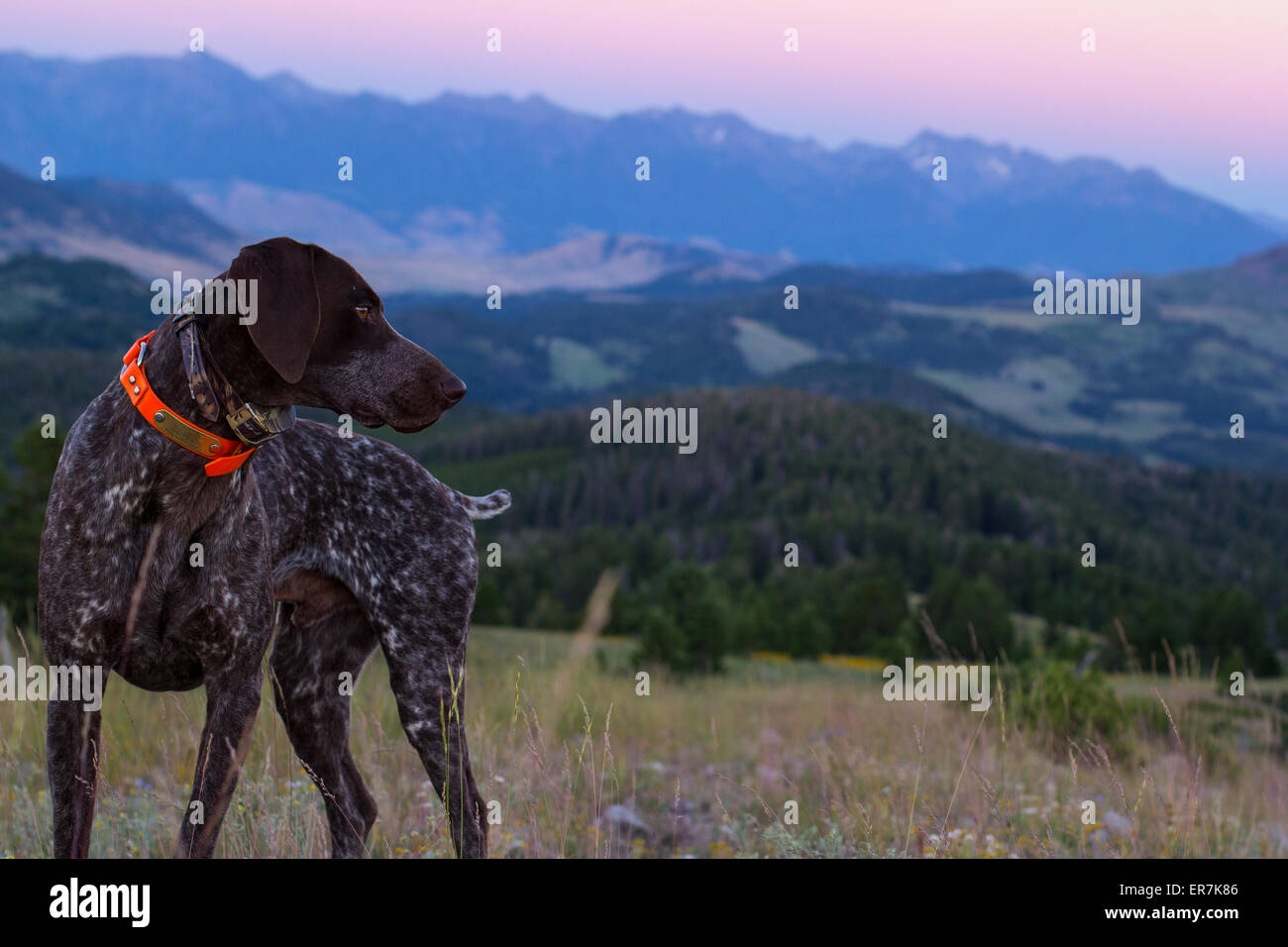 Dog in the Rocky Mountains of Montana - Stock Image