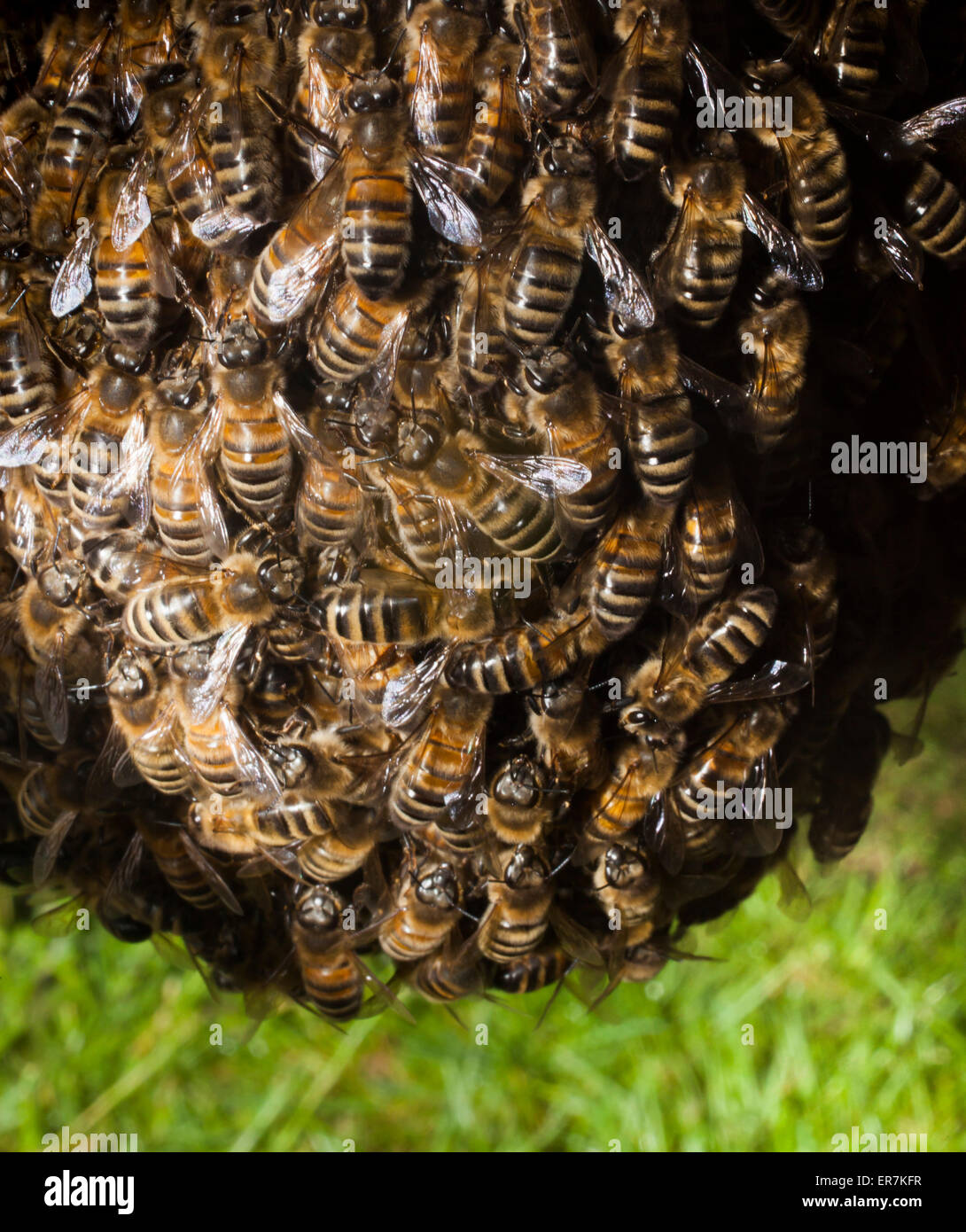 A swarm of honey bees,who have left the original colony, gather around their new queen bee. Later they will create - Stock Image