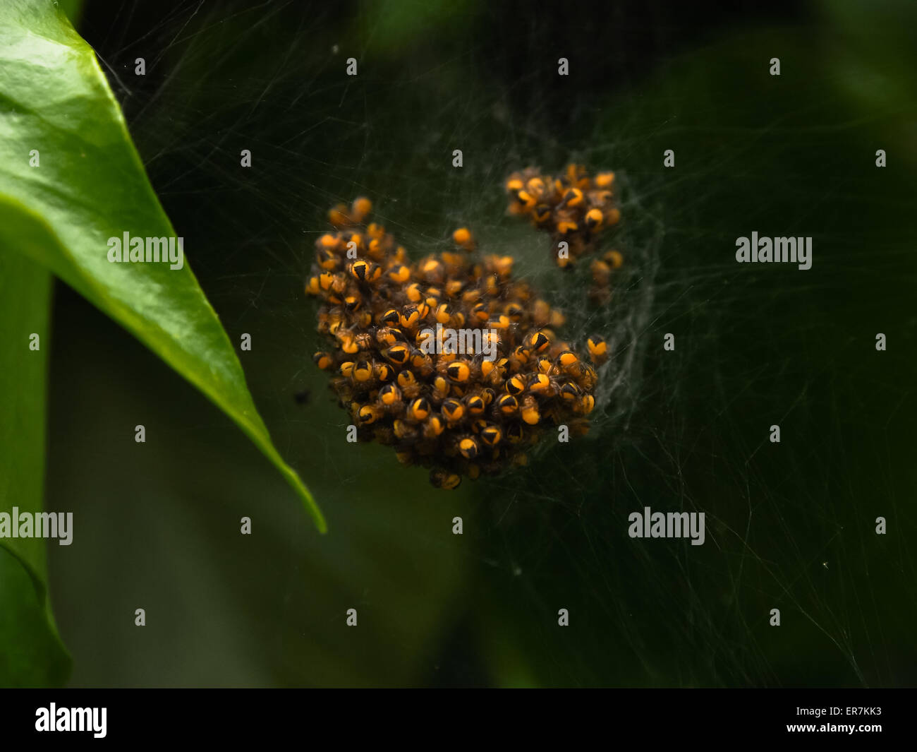 a close up of an orb of spiderlings - Stock Image
