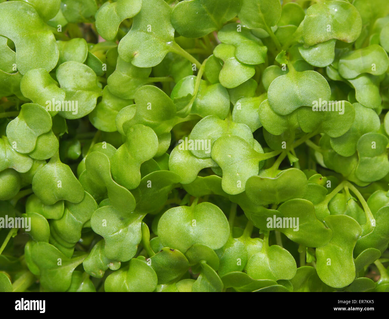 A close up of watercress Stock Photo