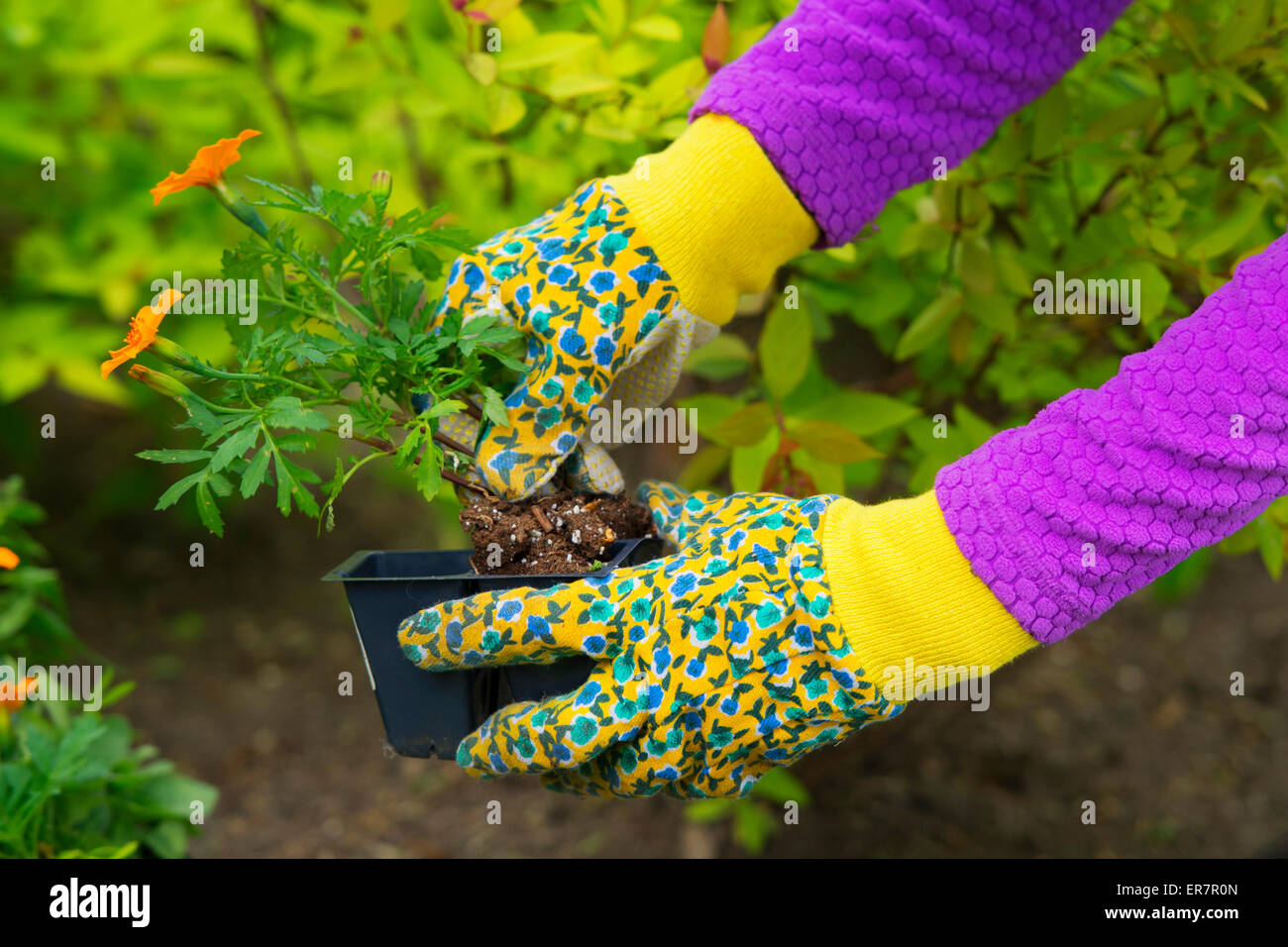 Gardening, Planting,  Flowers,  Woman holding flower plants to plant in garden, woman's hands in Gardening Gloves - Stock Image