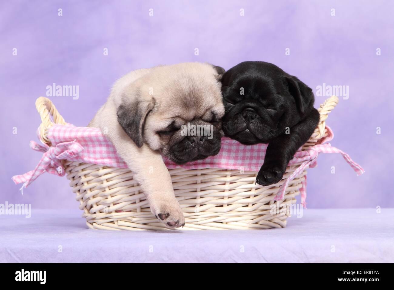 pug puppies Stock Photo