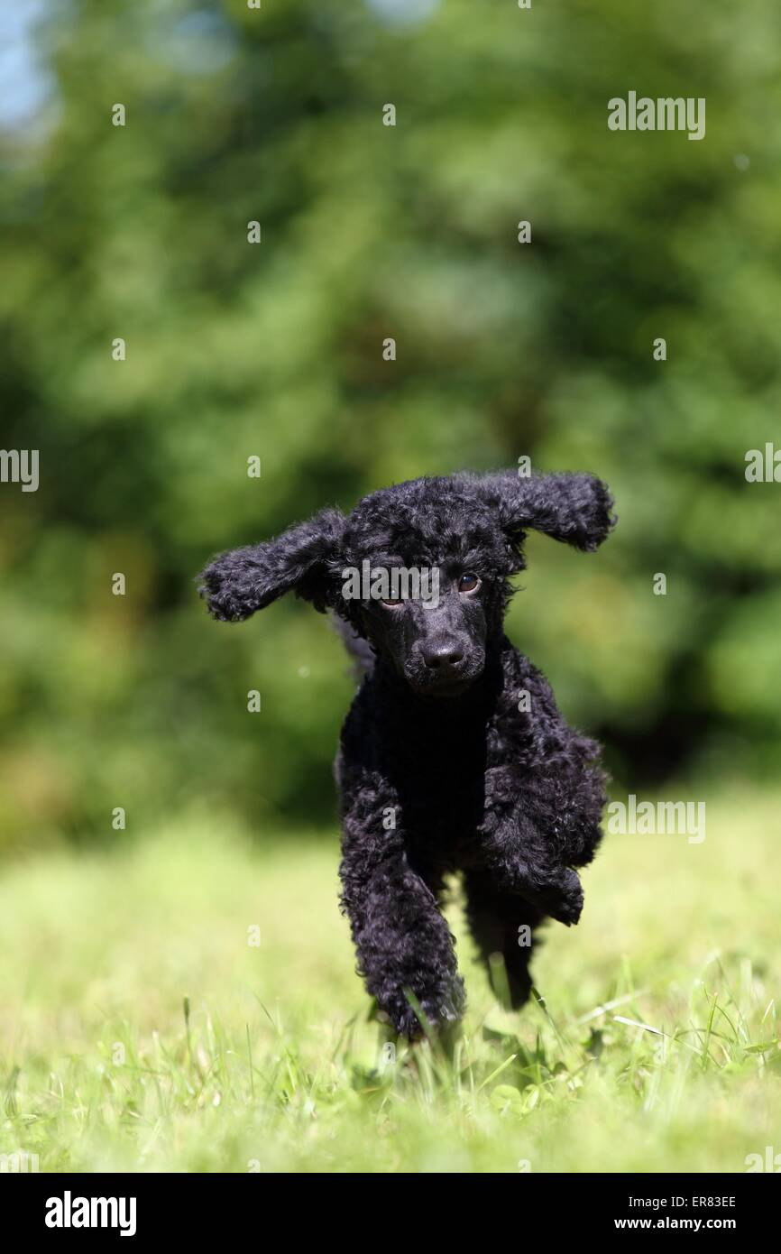 Miniature Poodle Puppy - Stock Image