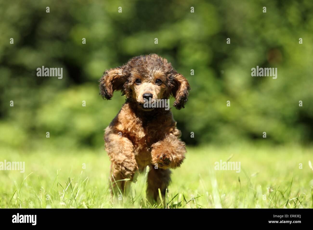 Miniature Poodle Puppy - Stock Image