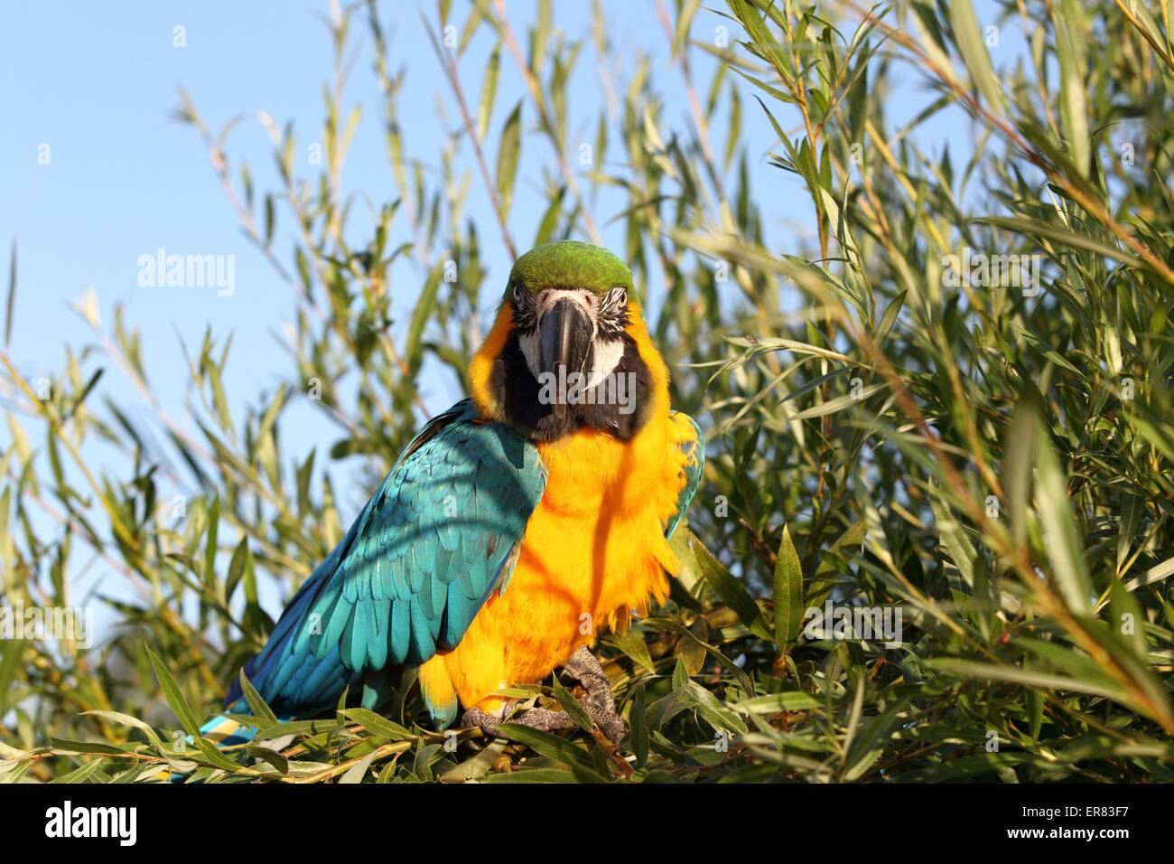 blue and gold macaw - Stock Image
