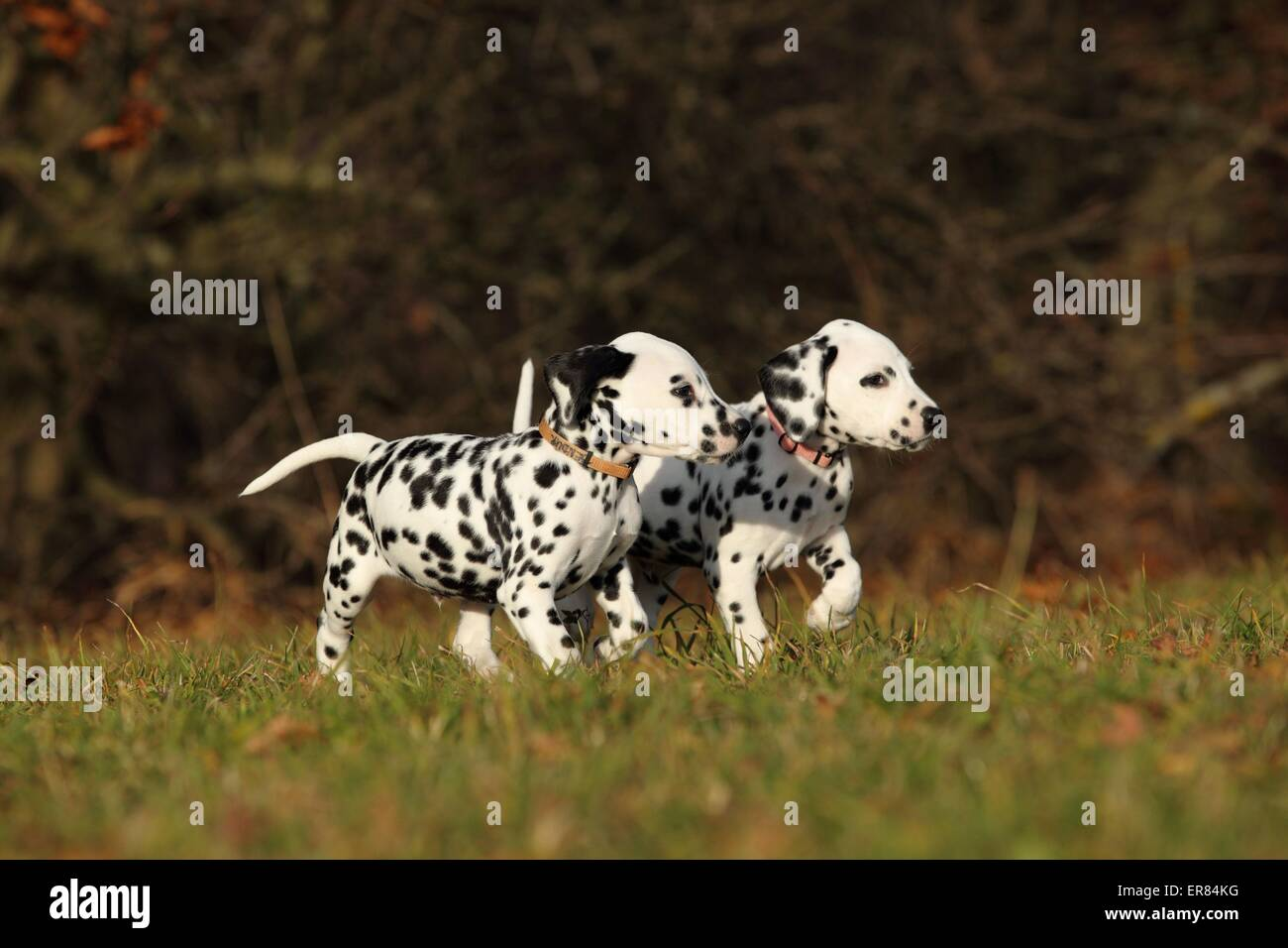 Dalmatian Puppies - Stock Image