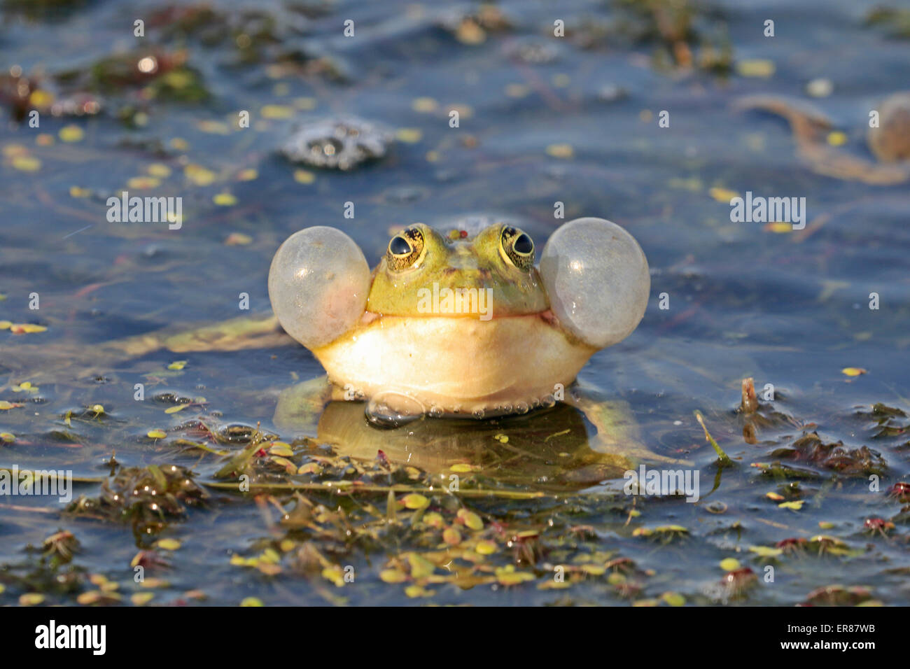Green Frog with its air sacs expanded in the Danube Delta - Stock Image