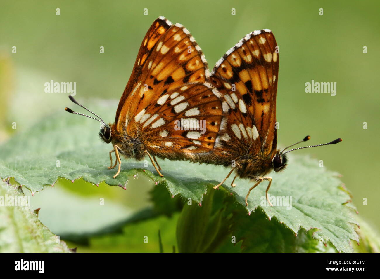 Mating (pairing) Duke of Burgundy Butterflies - Stock Image