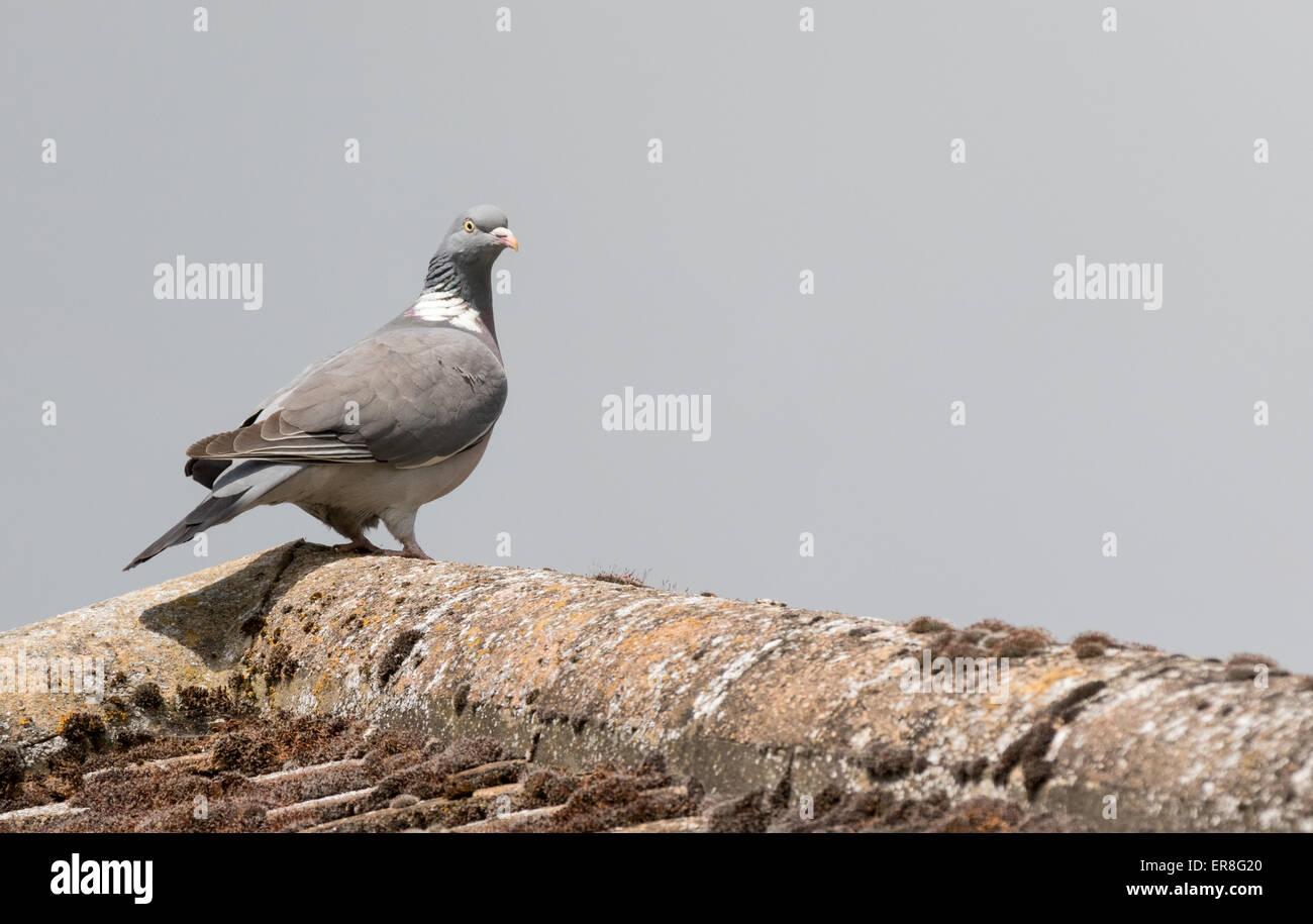 A wood pigeon ( Columba Palumbus ) on a house roof, Suffolk, UK - Stock Image