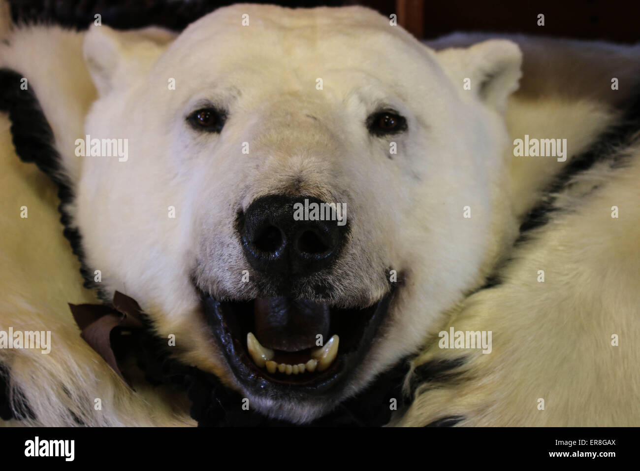 Polar Bear Skin - Stock Image
