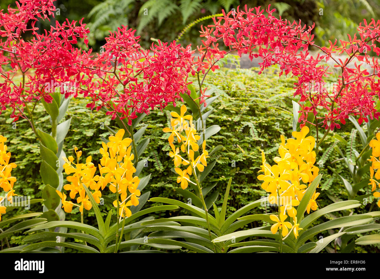 Colourful Orchids In The National Orchid Garden, The Singapore Botanic  Gardens, Singapore South East Asia