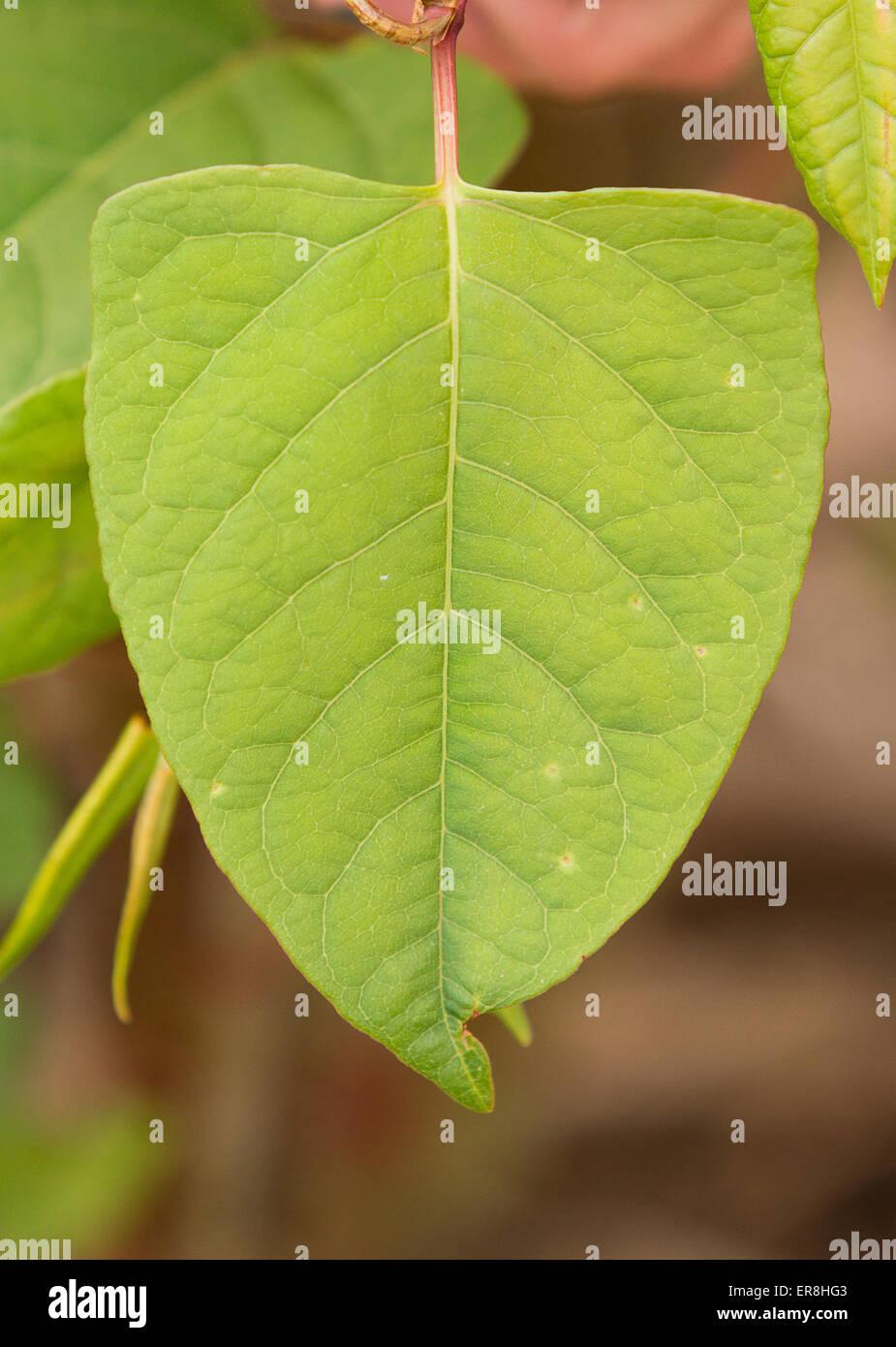Japanese knotweed (Fallopia japonica) leaf - Stock Image