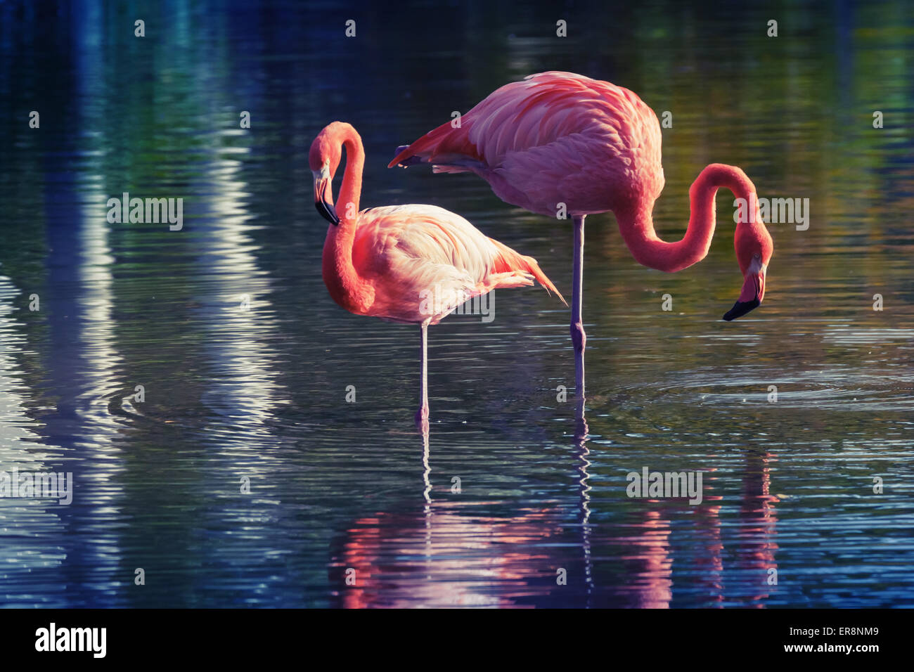 Two pink flamingos standing in the water with reflections. Stylized photo with colorful tonal correction old style Stock Photo