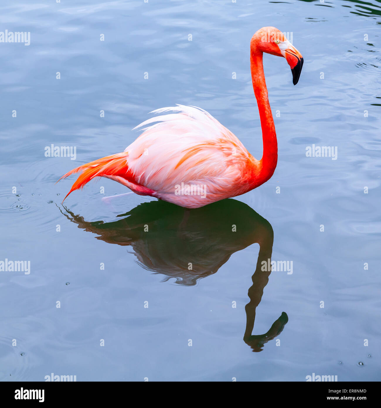 Pink flamingo walks in the water with reflections, square photo - Stock Image