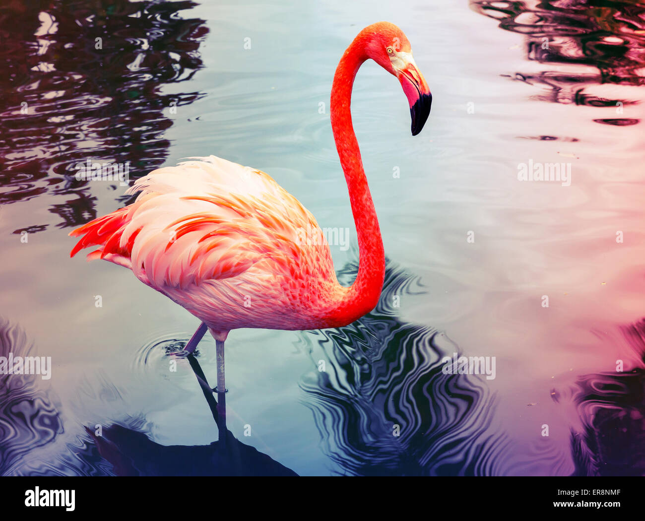 Pink flamingo walks in the water with reflections, stylized photo with colorful tonal correction filter, instagram - Stock Image