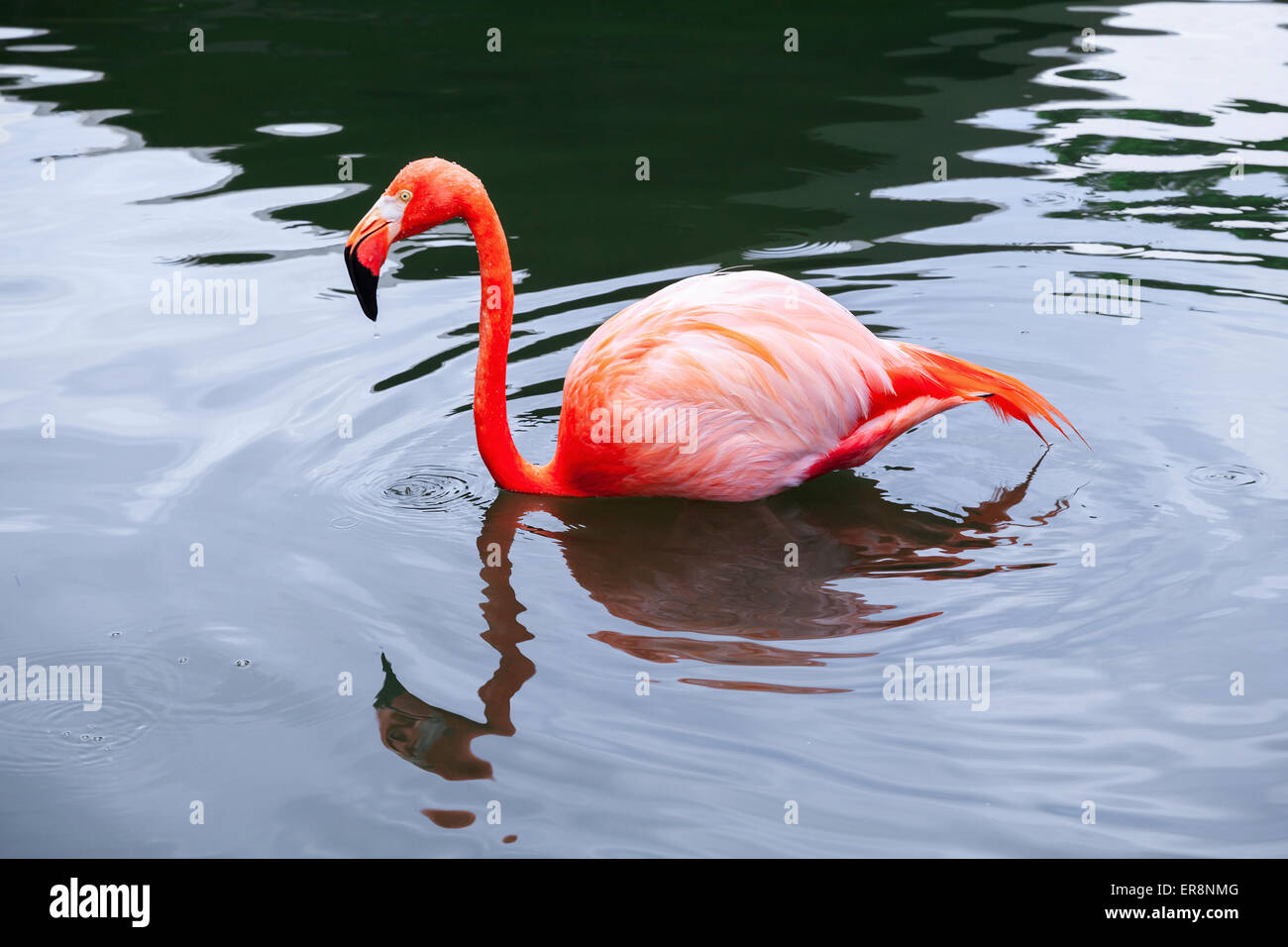Pink flamingo walks in the water with reflections - Stock Image