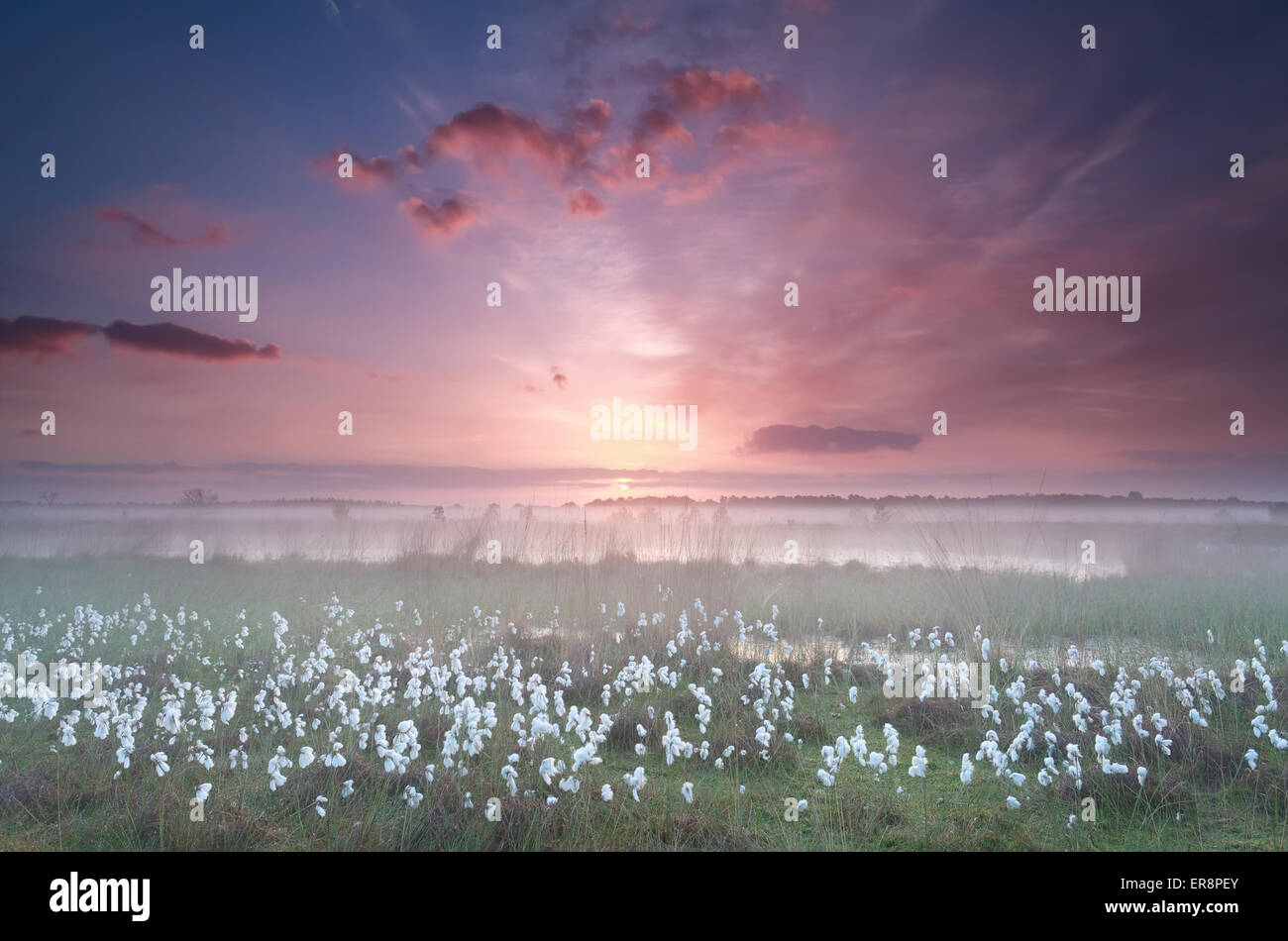 misty sunrise over swamp with cottongrass, Kampina, North Brabant, Netherlands - Stock Image
