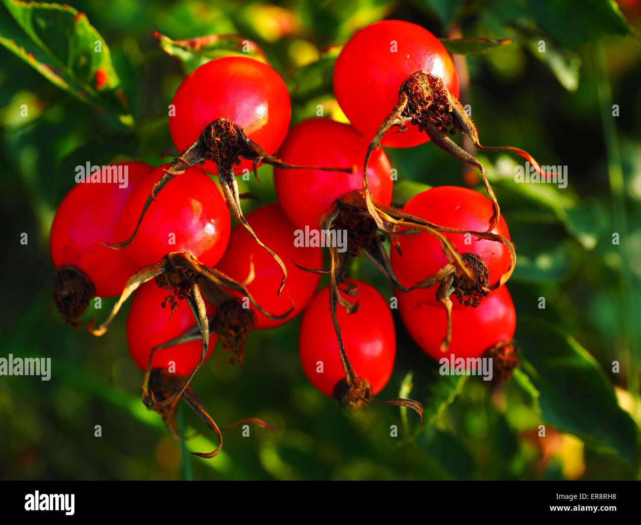 Rose-Hip in sunlight Stock Photo