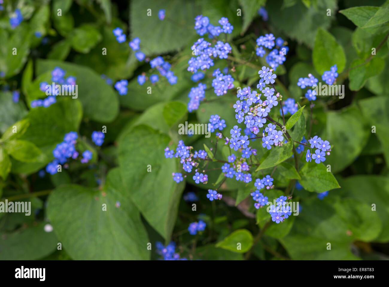 Brunnera Macrophylla With Heads Of Tiny Rich Blue Flowers In Spring
