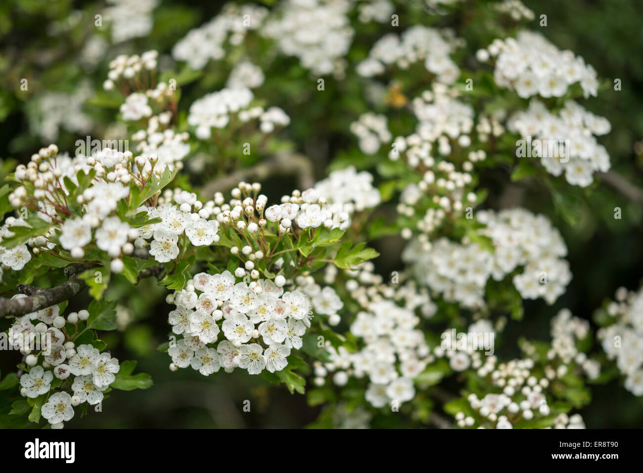 Close Up Of White Hawthorn Flowers Craetegus Monogyna Stock Photo