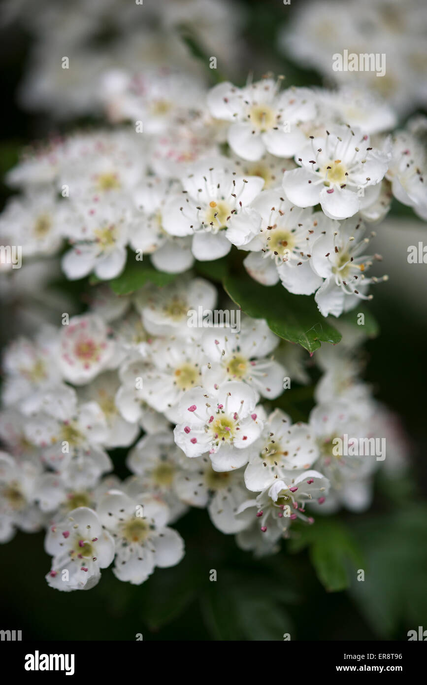 Close Up White Blossom Flowers Hawthorn Stock Photos Close Up