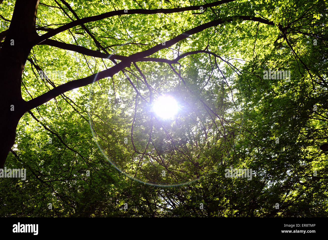 The sun creates a halo flare through the canopy of a forest in Bristol. - Stock Image