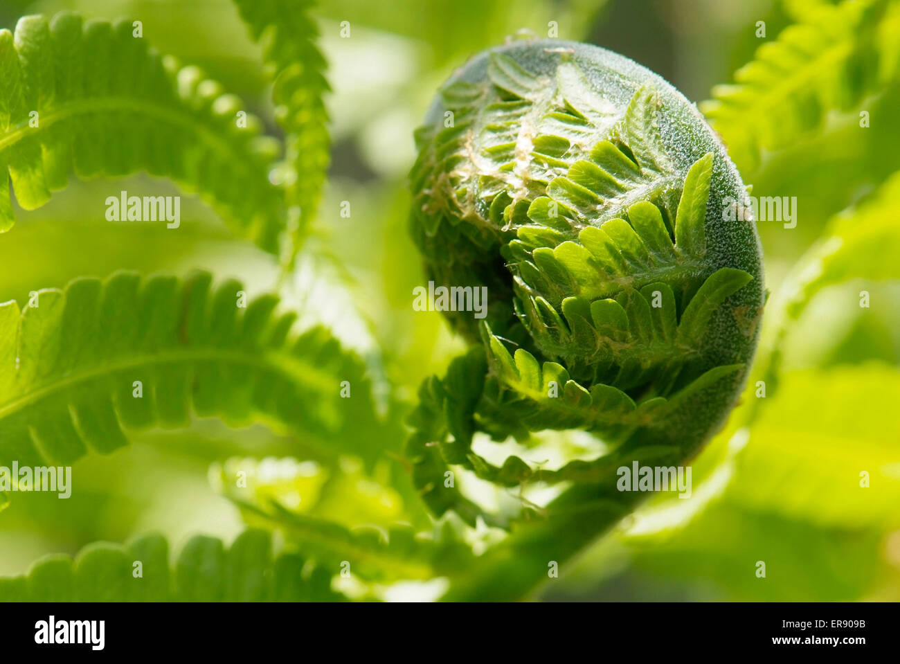 close up young leaf of fern Matteuccia struthiopteris - Stock Image
