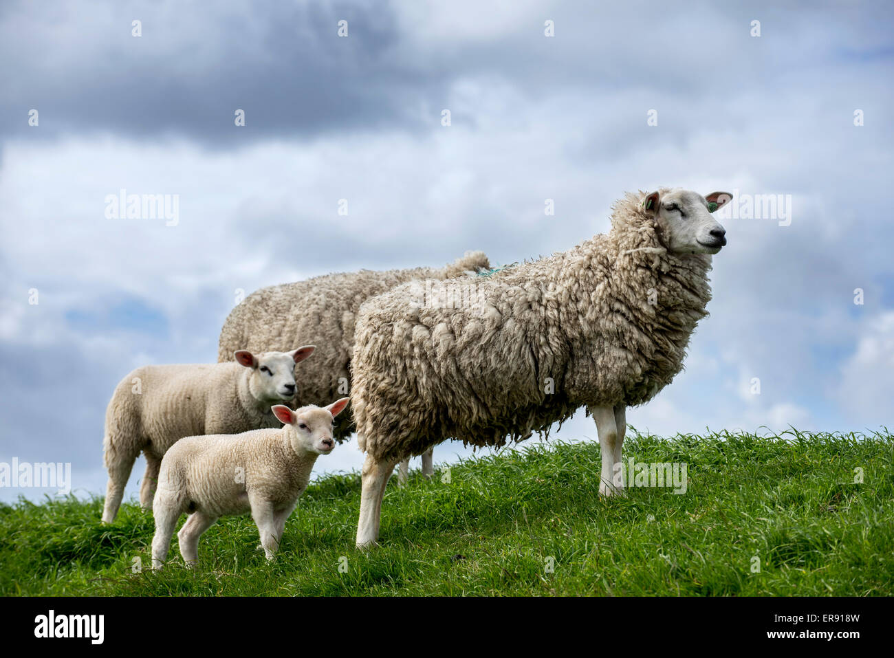 Texel sheep / Texelaar ewes with lambs in meadow on the island of Texel, West Frisian Islands, North Holland, the - Stock Image