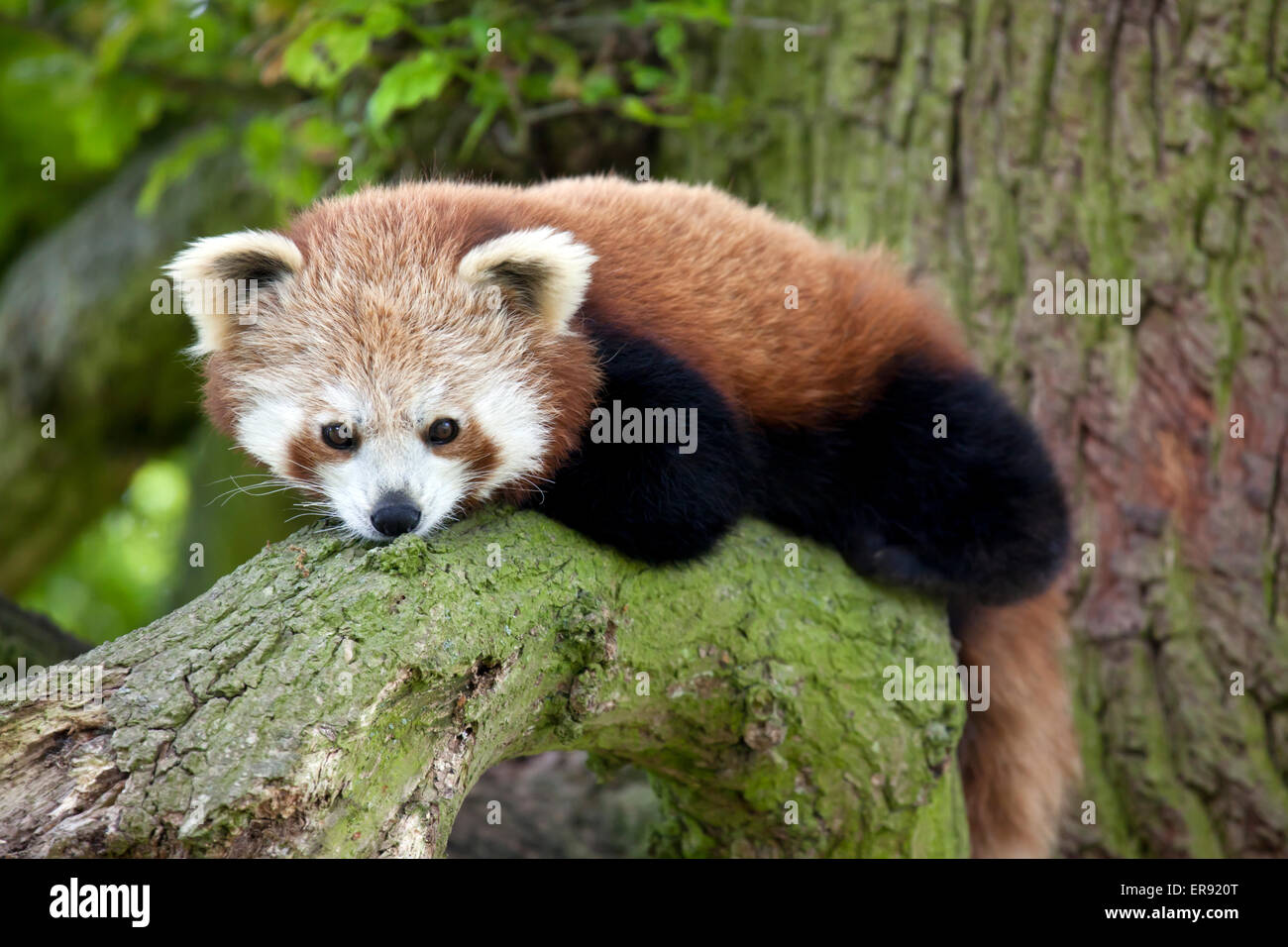 A Red Panda sitting on a tree branch Stock Photo